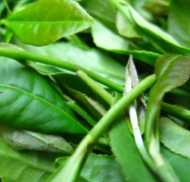 Longjing leaves