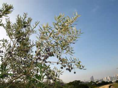 Olive Leaf Tea - Olive Tree