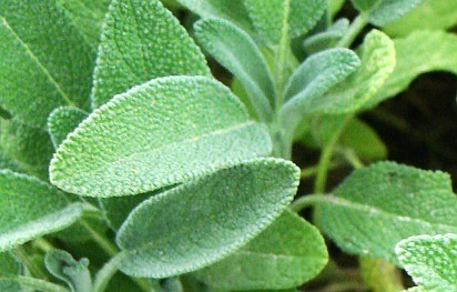 Sage Tea - The Soothing Tonic